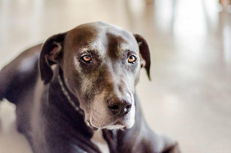 eldery dog